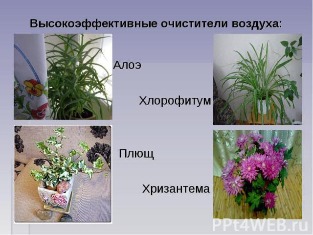 Высокоэффективные очистители воздуха: Алоэ Хлорофитум Плющ Хризантема