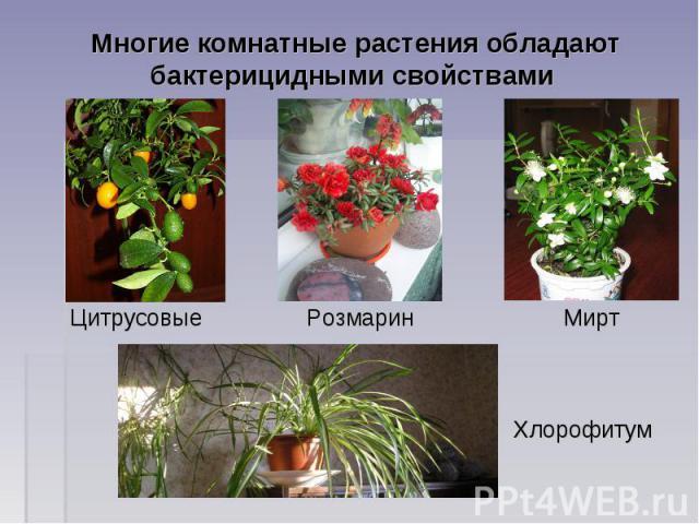 Многие комнатные растения обладают бактерицидными свойствами Цитрусовые Розмарин Мирт Хлорофитум