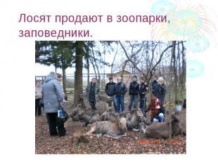 Лосят продают в зоопарки, заповедники.