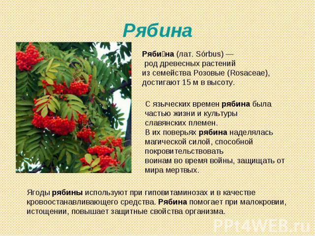 Рябина Рябина (лат. Sórbus)— род древесных растений из семейства Розовые (Rosaceae), достигают 15м в высоту. С языческих времен рябина была частью жизни и культурыславянских племен. В их поверьях рябина наделялась магической силой, способной покро…