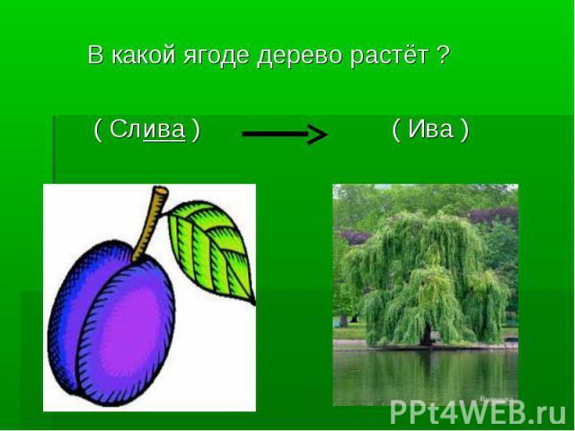 В какой ягоде дерево растёт ? ( Слива ) ( Ива )