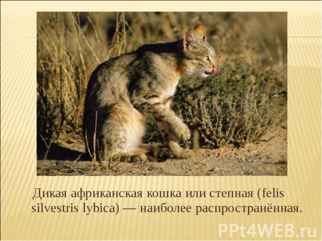 Дикая африканская кошка или степная (felis silvestris lybica) — наиболее распространённая.