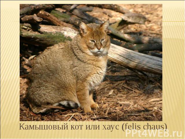 Камышовый кот или хаус (felis chaus)