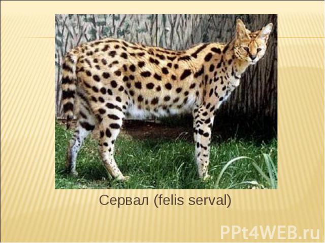 Сервал (felis serval)
