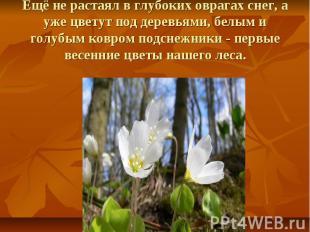 Ещё не растаял в глубоких оврагах снег, а уже цветут под деревьями, белым и голу