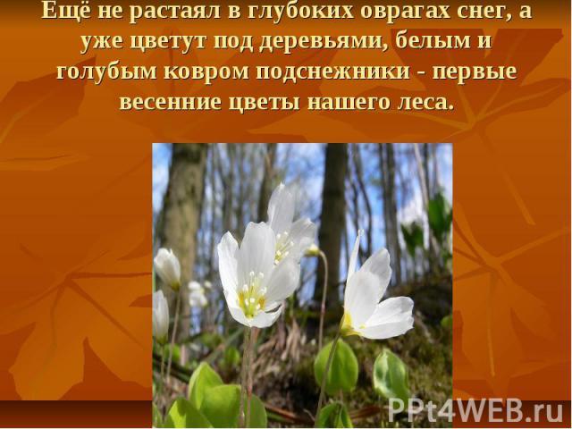 Ещё не растаял в глубоких оврагах снег, а уже цветут под деревьями, белым и голубым ковром подснежники - первые весенние цветы нашего леса.