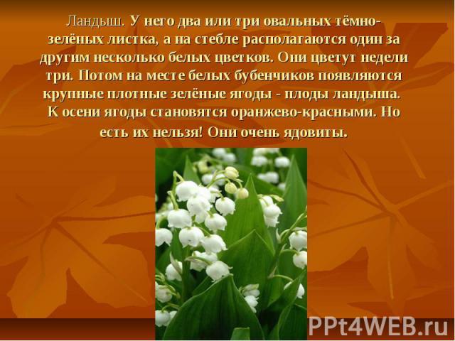 Ландыш. У него два или три овальных тёмно-зелёных листка, а на стебле располагаются один за другим несколько белых цветков. Они цветут недели три. Потом на месте белых бубенчиков появляются крупные плотные зелёные ягоды - плоды ландыша. К осени ягод…