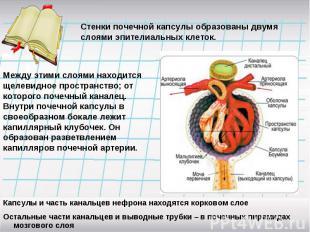 Стенки почечной капсулы образованы двумя слоями эпителиальных клеток.Между этими