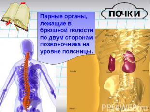Парные органы, лежащие в брюшной полости по двум сторонам позвоночника на уровне
