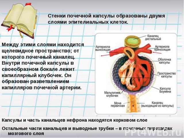 Стенки почечной капсулы образованы двумя слоями эпителиальных клеток.Между этими слоями находится щелевидное пространство; от которого почечный каналец. Внутри почечной капсулы в своеобразном бокале лежит капиллярный клубочек. Он образован разветвле…