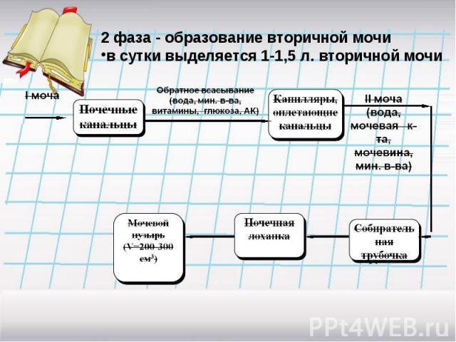 2 фаза - образование вторичной мочив сутки выделяется 1-1,5 л. вторичной мочи