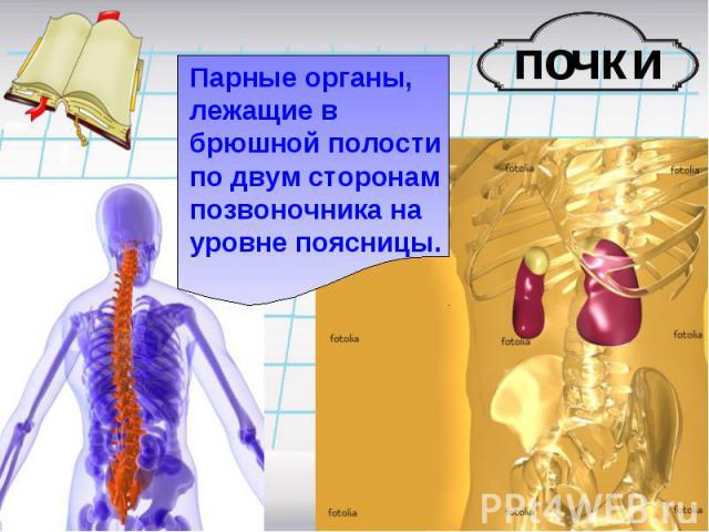 Парные органы, лежащие в брюшной полости по двум сторонам позвоночника на уровне поясницы.