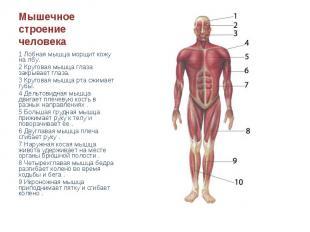 Мышечное строение человека 1 Лобная мышца морщит кожу на лбу.2 Круговая мышца гл