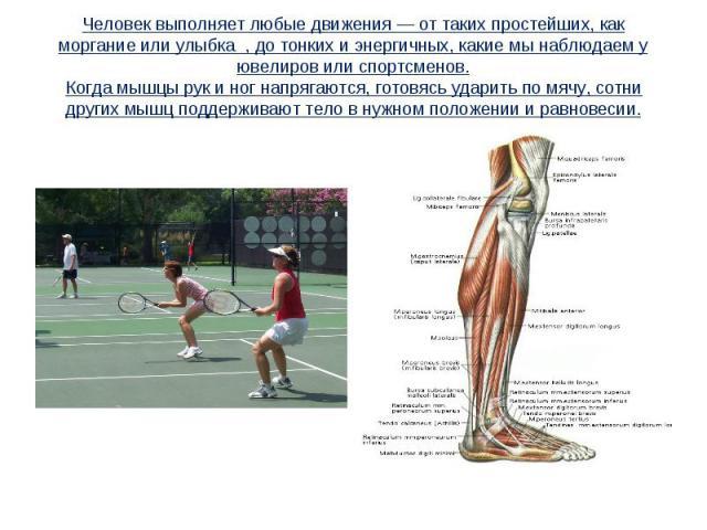Человек выполняет любые движения — от таких простейших, как моргание или улыбка , до тонких и энергичных, какие мы наблюдаем у ювелиров или спортсменов.Когда мышцы рук и ног напрягаются, готовясь ударить по мячу, сотни других мышц поддерживают тело …