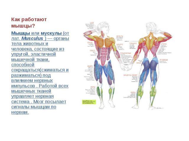 Как работают мышцы? Мышцы или мускулы (от лат. Musculus ) — органы тела животных и человека, состоящие из упругой, эластичной мышечной ткани, способной сокращаться(сжиматься и разжиматься) под влиянием нервных импульсов . Работой всех мышечных ткане…