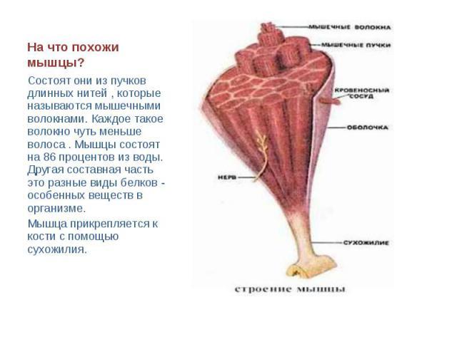 На что похожи мышцы? Состоят они из пучков длинных нитей , которые называются мышечными волокнами. Каждое такое волокно чуть меньше волоса . Мышцы состоят на 86 процентов из воды. Другая составная часть это разные виды белков - особенных веществ в о…