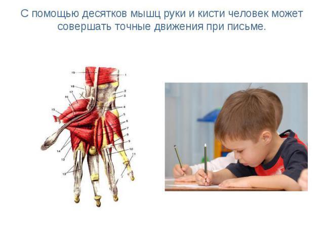 С помощью десятков мышц руки и кисти человек может совершать точные движения при письме.