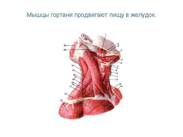 Мышцы гортани продвигают пищу в желудок.