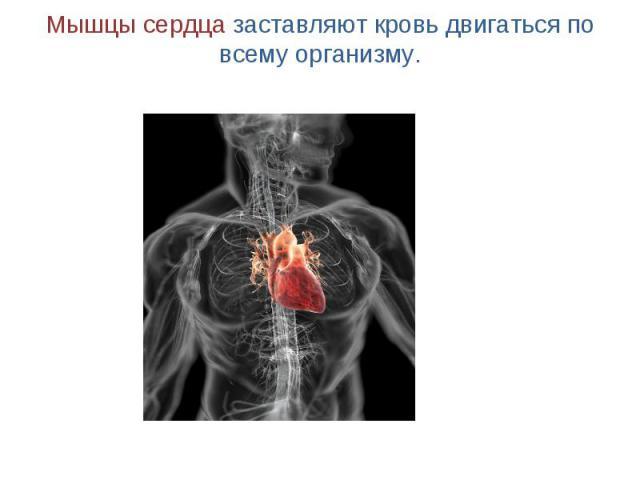 Мышцы сердца заставляют кровь двигаться по всему организму.