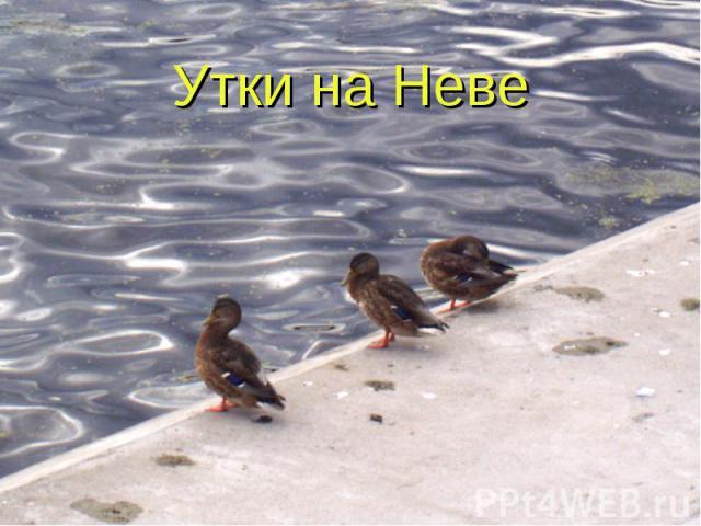 Утки на Неве