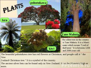 plants The oldest tree in the country is Tane Mahuta. It is a Maori name which m