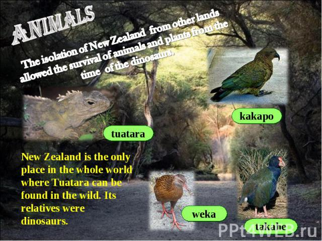 animals The isolation of New Zealand from other lands allowed the survival of animals and plants from the time of the dinosaurs.New Zealand is the only place in the whole world where Tuatara can be found in the wild. Its relatives were dinosaurs.