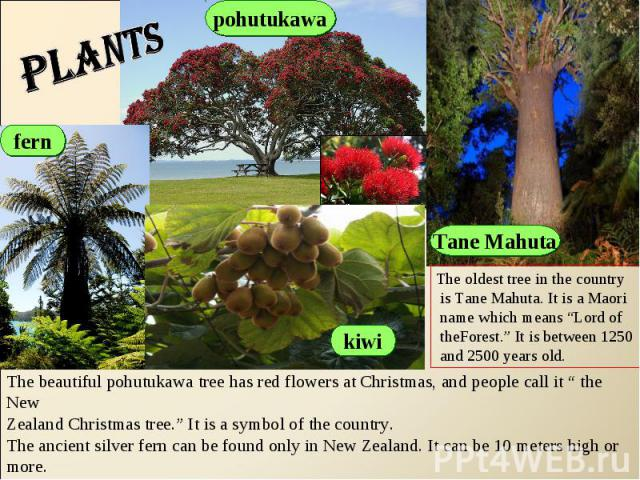 "plants The oldest tree in the country is Tane Mahuta. It is a Maori name which means ""Lord of theForest."" It is between 1250 and 2500 years old.The beautiful pohutukawa tree has red flowers at Christmas, and people call it "" the NewZealand Christmas…"