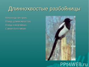 Длиннохвостые разбойницы Непоседа пестрая,Птица длиннохвостая,Птица говорливая,С