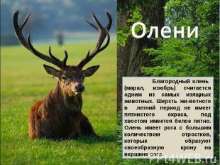 Олени Благородный олень (марал, изюбрь) считается одним из самых изящных животны