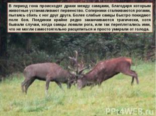 В период гона происходят драки между самцами, благодаря которым животные устанав