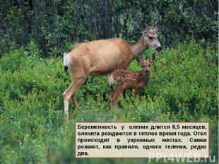 Беременность у олених длится 8,5 месяцев, оленята рождаются в теплое время года.