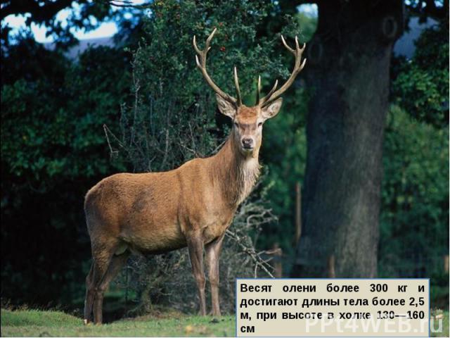 Весят олени более 300 кг и достигают длины тела более 2,5 м, при высоте в холке 130—160 см