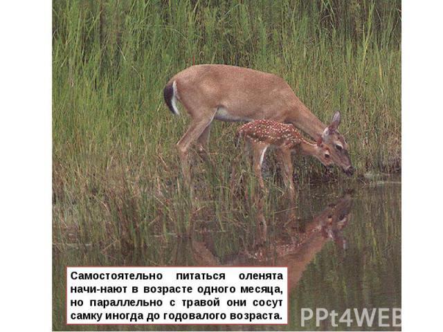 Самостоятельно питаться оленята начи-нают в возрасте одного месяца, но параллельно с травой они сосут самку иногда до годовалого возраста.