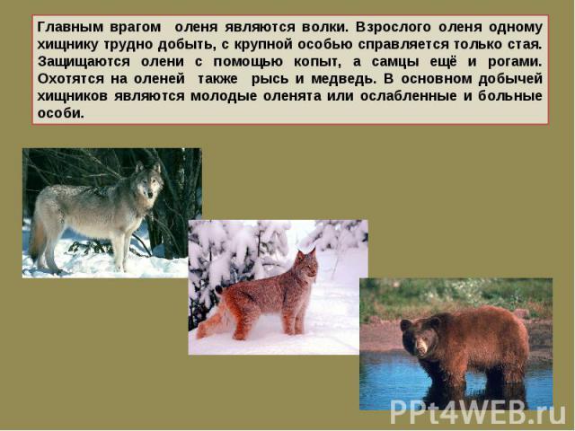 Главным врагом оленя являются волки. Взрослого оленя одному хищнику трудно добыть, с крупной особью справляется только стая. Защищаются олени с помощью копыт, а самцы ещё и рогами. Охотятся на оленей также рысь и медведь. В основном добычей хищников…
