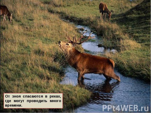 От зноя спасаются в реках, где могут проводить много времени.