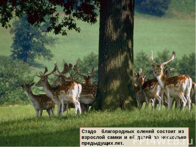 Стадо благородных оленей состоит из взрослой самки и её детей за несколько предыдущих лет.
