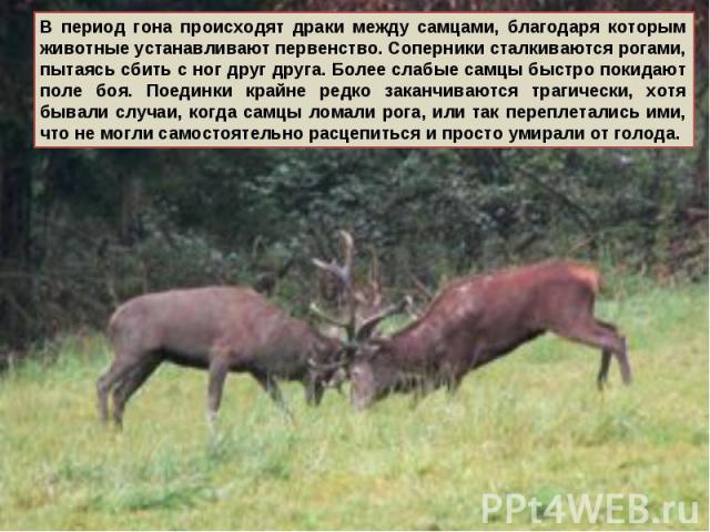 В период гона происходят драки между самцами, благодаря которым животные устанавливают первенство. Соперники сталкиваются рогами, пытаясь сбить с ног друг друга. Более слабые самцы быстро покидают поле боя. Поединки крайне редко заканчиваются трагич…