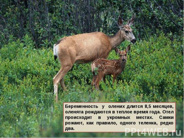 Беременность у олених длится 8,5 месяцев, оленята рождаются в теплое время года. Отел происходит в укромных местах. Самки рожают, как правило, одного теленка, редко два.