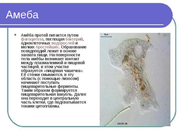Амеба Амёба протей питается путем фагоцитоза, поглощая бактерий, одноклеточных водорослей и мелких простейших. Образование псевдоподий лежит в основе захвата пищи. На поверхности тела амёбы возникает контакт между плазмалеммой и пищевой частицей, в …