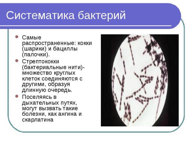 Систематика бактерий Самые распространенные: кокки (шарики) и бациллы (палочки).Стрептококки (бактериальные нити)- множество круглых клеток соединяются с другими, образуя длинную очередь.Поселяясь в дыхательных путях, могут вызвать такие болезни, ка…