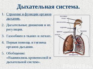 Дыхательная система. Строение и функции органов дыхания.Дыхательные движения и и