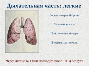 Дыхательная часть: легкие Через легкие за 1 мин проходит около 100 л воздуха