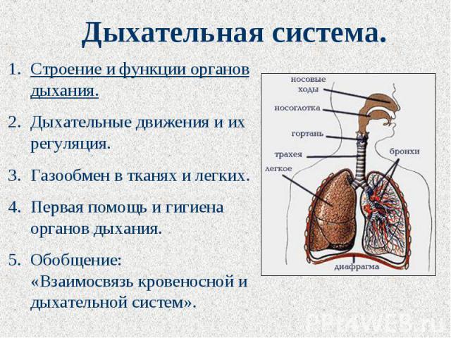 Дыхательная система. Строение и функции органов дыхания.Дыхательные движения и их регуляция.Газообмен в тканях и легких.Первая помощь и гигиена органов дыхания.Обобщение: «Взаимосвязь кровеносной и дыхательной систем».