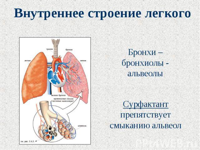 Внутреннее строение легкого Бронхи – бронхиолы - альвеолыСурфактант препятствует смыканию альвеол