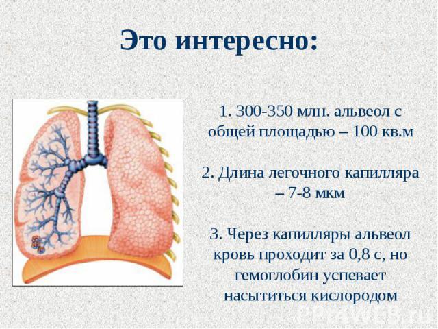 Это интересно: 1. 300-350 млн. альвеол с общей площадью – 100 кв.м2. Длина легочного капилляра – 7-8 мкм3. Через капилляры альвеол кровь проходит за 0,8 с, но гемоглобин успевает насытиться кислородом