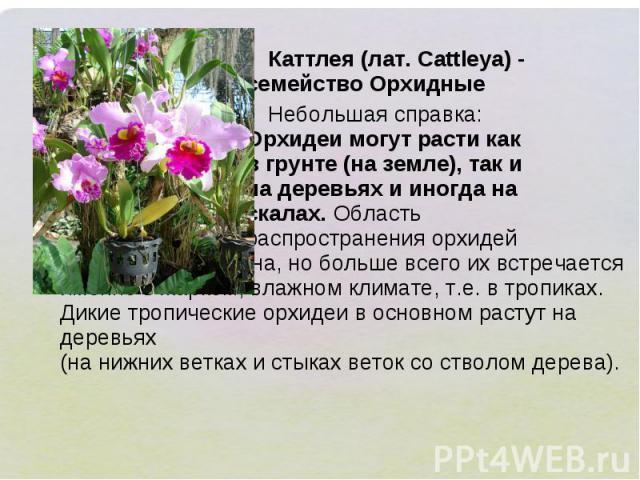Каттлея (лат. Cattleya) - семейство Орхидные Небольшая справка: Орхидеи могут расти как в грунте (на земле), так и на деревьях и иногда на скалах. Область распространения орхидей достаточно обширна, но больше всего их встречается именно в жарком, вл…