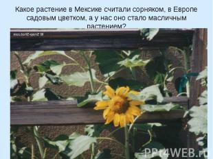 Какое растение в Мексике считали сорняком, в Европе садовым цветком, а у нас оно