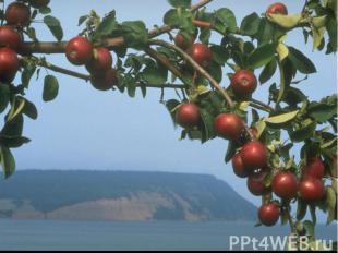 Этот фрукт рос в особом саду, охранялся как зеница ока и возвращал старикам моло