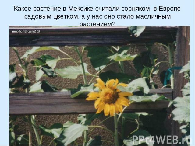 Какое растение в Мексике считали сорняком, в Европе садовым цветком, а у нас оно стало масличным растением?