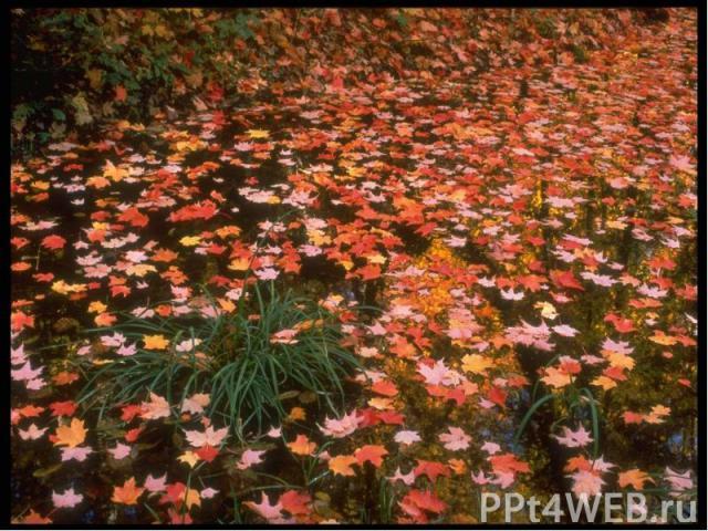 Кружит осенний листопадПластинкой яркой, звонкой,И листья павшие скользятОранжевой поземкой.